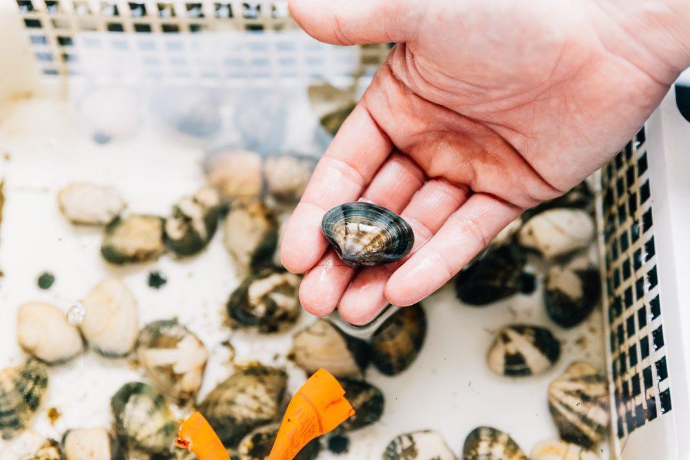 Coltura biologica di vongole | Finittica: lavorazione e vendita di molluschi bivalvi vivi