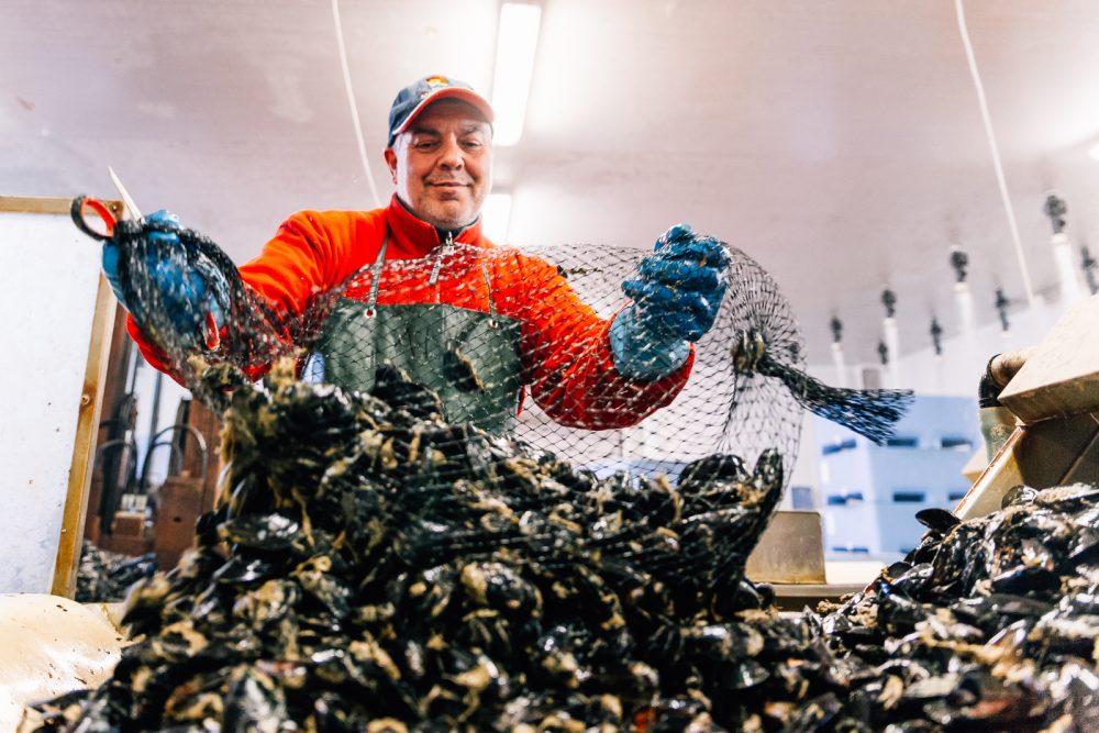 Processo di pulitura di cozze | Finittica: lavorazione e vendita di molluschi bivalvi vivi