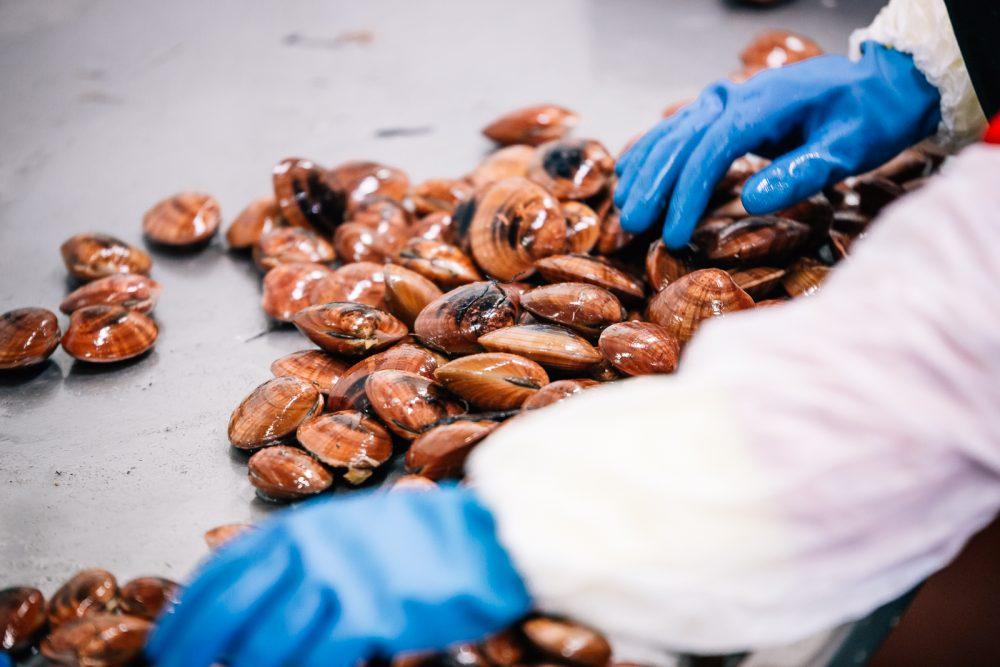 Processo di pulitura e selezione di fasolari | Finittica: lavorazione e vendita di molluschi bivalvi vivi