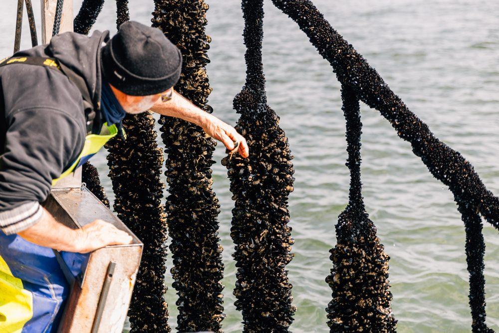 Coltivazione e raccolta cozze a Goro | Finittica: lavorazione e vendita di molluschi bivalvi vivi