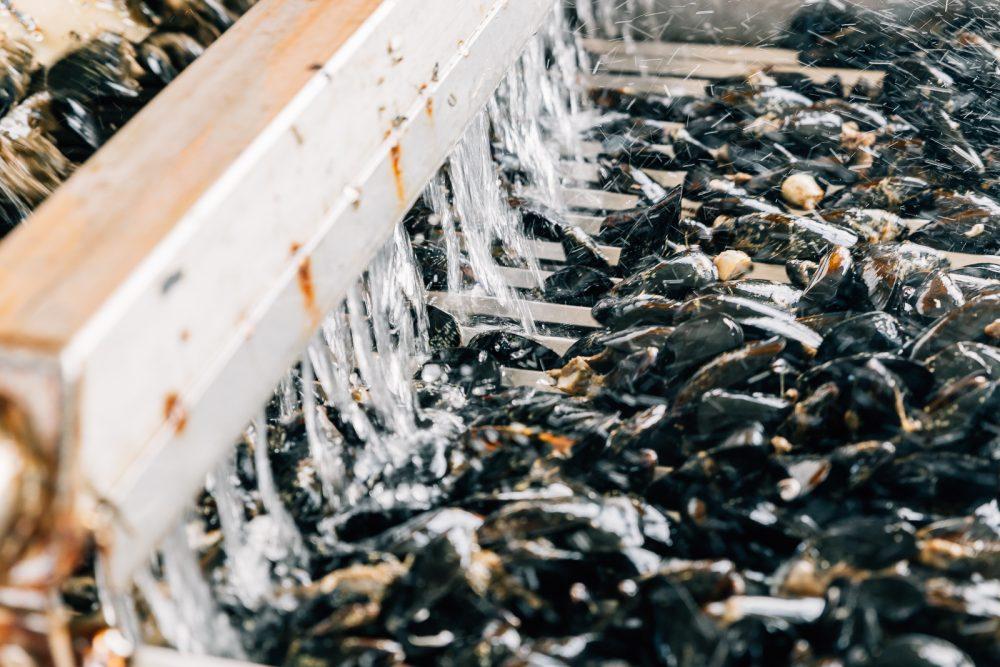 Raccolta e selezione cozze a Goro | Finittica: lavorazione e vendita di molluschi bivalvi vivi